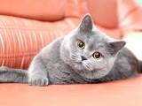 British Kedi Alınacaktır :)